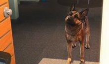 Lộ diện bản mod Fallout 4 cho người chơi hóa chó